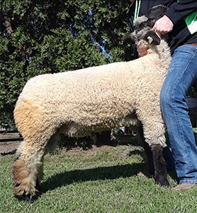 Cory Brothers Club Lambs | Sires